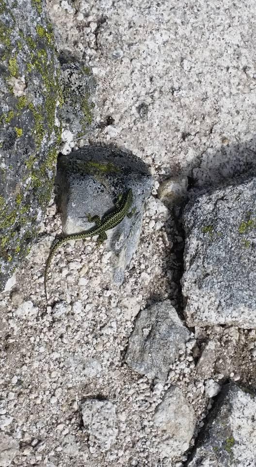 lagartija piedra